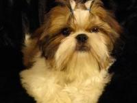 Female Shih Tzu born on November 9th 2011 black,and