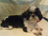 I have a male shih Tzu that I was going to use to breed