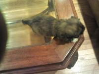 Hi, I have 1male brown, pure breed shih tzu. He is very