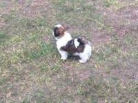 Nine week old male Shih Tzu puppy for sale. The father