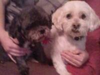 Shih Tzu PLEASE, GIVE US A CHANCE - CAN BE SEPARATED -