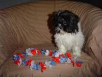 Female 1 year old Shih Tzu for sale . UTD on shots .