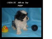 SHIH TZU PUPPYS FOR SALE IN NAPLES PURE BREED VERY