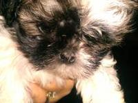 Female Shih Tzu puppy. Born Sept. 8, 2013. 8 weeks old