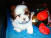 Female Shih-Tzu she is very loving. Black in color. She