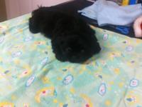 2 Lovely male CKC signed up SHIH TZU Puppies $250.