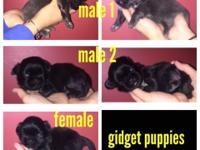 Shih Tzu puppies that will be prepared on Jan 19th.