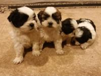 I have 4 SHIH-TZU 2 females 2 males adorable playful