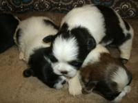 Shih Tzu 2 males and 2 females,  black and white,