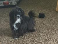 Adorable male Shih tzu. Loves to play and ride in the