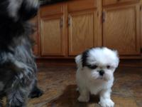 AKC Shih Tzu puppies 8 weeks old. Assorted colors. 3