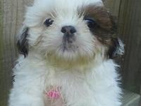 Female Shih-tzu for PET. Parents AKC. Shots, wormed,