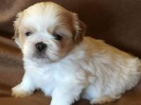 AkC male Shih Tzu puppies utd on shots worming and vet