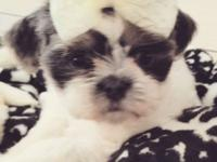 Hi im selling 4 very tiny beautiful Shih Tzu puppies 2