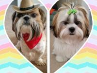Purebred Shih Tzu's, born 9/11/2015 asking 450! I have