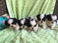 Beautiful purebred Shih Tzu puppies ready for their new