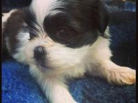 We have three multi colored Shih Tzu puppies and four