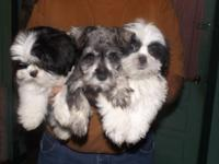 Price reduction on all 3 of these puppies. Schnauzer