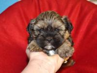 Precious little male Shorkie avail. He is such a little