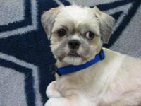 Shih Tzu - Apollo - Small - Young - Male - Dog