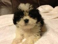 I have several shih tzu babies for sale. They've had