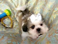 Shih-Tzu baby boy ready for new home now with health