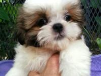 Our little Snookie is a purebred Shih Tzu male