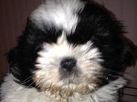 Beautiful Shih-Tzu pup black and white great