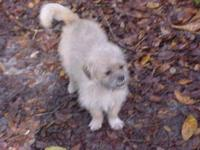 Shih Tzu - Benny - Small - Young - Male - Dog Hello my