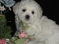 Beau is a gorgeous little white Shichon. His ears are a