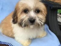 Male Shih Tzu Bichon up to date on all shots,de-wormed,