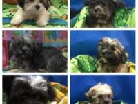 Beautiful TEDDY BEAR puppies (Shih Tzu/Bichon Frise).
