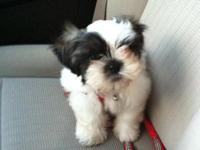 4 MONTHS OLD MALE SHIH-TZU FOR SALE. I WILL INCLUDE: