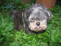 Shih Tzu - Bobo - Small - Senior - Male - Dog Hi, my