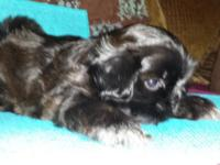 Shih Tzu Boy 6 weeks old. CKC registered. Black with