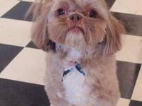 Shih Tzu - Braxton - Small - Adult - Male - Dog Braxton