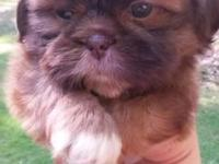 Ckc registered chocolate colored shih tzu. Ready now