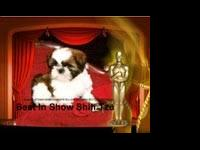 Shih Tzu - Buda - Small - Adult - Male - Dog