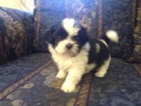 Shih Tzu - Buddi - Small - Adult - Male - Dog Very