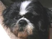 Shih Tzu - Buddy - Small - Senior - Male - Dog If