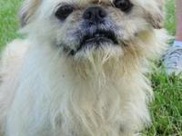 Shih Tzu - Burnese - Small - Adult - Female - Dog