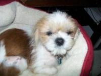 Shih Tzu - Charlie - Small - Adult - Male - Dog  Can