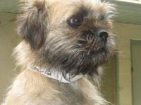 Shih Tzu - Cheri - Small - Young - Female - Dog Intake