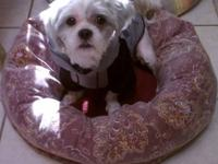 Shih Tzu - Chewy - Small - Young - Male - Dog This is
