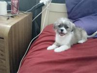 9 weeks old shih tzu chihuahua mix no shotz female