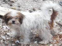 Snoopy, is a tri colored small male Chihuahua/Shih Tzu