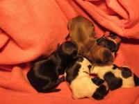 I have a new litter of Shih Tzu babies. They will be