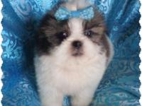 Shih-Tzu ready to go new home now. 8 weeks. My puppys
