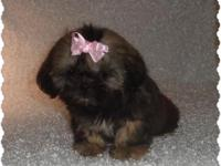 Shih-Tzu gir ckc ready for new home now. My baby's come