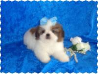 Shih-Tzu Boy c.k.c. 9 weeks old and ready for new home